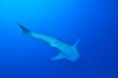 клиппирование 3d над путем представляет кита акулы тени белым Стоковые Фото