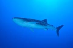 клиппирование 3d над путем представляет кита акулы тени белым Стоковые Изображения RF