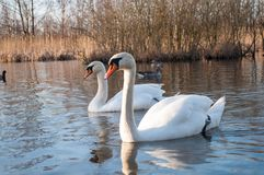 К лебедям в озере Стоковая Фотография