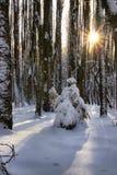 К малому холоду ели в зиме Стоковые Фотографии RF