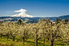 Клобук Mt, сады яблока, Орегон Стоковое Изображение RF