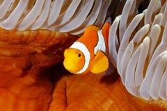 Клоун Anemonefish в актинии Стоковое фото RF