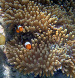 Клоун Anemonefish Стоковые Фото