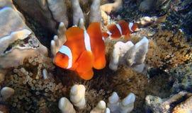 Клоун Anemonefish Стоковые Изображения RF