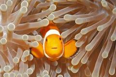 Клоун Anemonefish Стоковые Изображения