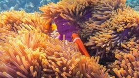 Клоун Anemonefish, Marsa Alam, Египет Стоковые Фотографии RF