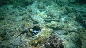 Клоун Triggerfisch рыб плавает в коралловый риф видеоматериал
