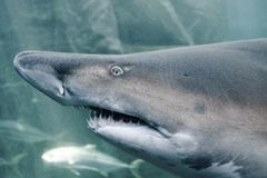 Клочковатая акула зуба стоковые фото