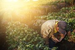 Клубника выбора фермера в утре Стоковая Фотография RF