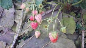Клубника на ферме Стоковая Фотография