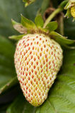 клубника незрелая Стоковое Фото