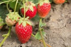 Клубника Самая вкусная и самая душистая ягода здоровые еда и витамины Стоковые Фото