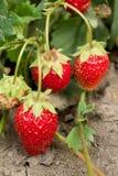 Клубника Самая вкусная и самая душистая ягода здоровые еда и витамины Стоковые Фотографии RF