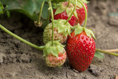 Клубника Самая вкусная и самая душистая ягода здоровые еда и витамины Стоковое Изображение