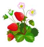 Клубника с цветками Стоковое фото RF