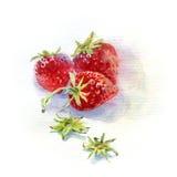 Клубника Watercolour Стоковое Фото
