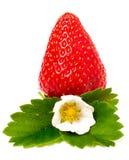 Клубники при цветок и листья изолированные на белой предпосылке Стоковое Изображение