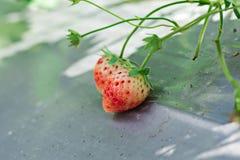 Клубники растутся на земле Стоковая Фотография