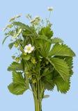 Клубники цветения на cyan Стоковые Изображения RF