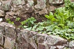 Клубники, швейцарский мангольд и сладкие картофели растя в задворк Стоковые Фото