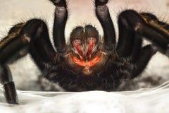 Клыки паука Стоковые Фотографии RF