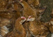 2 клюва цыпленка касающих друг друга Стоковое Фото