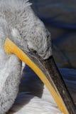 Клюв пеликана Стоковая Фотография RF