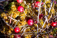 Клюква растя в болоте Стоковая Фотография