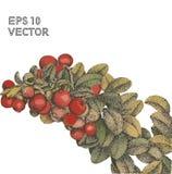 Клюквы акварели с вектором пуантилизма листьев стоковые изображения