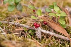 Клюквы леса на ветви Стоковые Фото