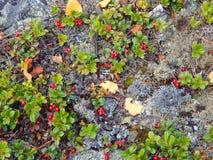 Клюквы леса Стоковая Фотография