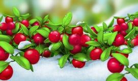 Клюквы, ягода в снеге Стоковое Изображение