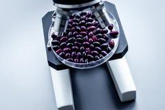 Лаборатория для анализа еды Красные фасоли под микроскопом на серой предпосылке Стоковая Фотография RF