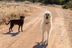 Лаборатория шоколада и ирландский Wolfhound играя outdoors на грязи roa Стоковые Изображения RF