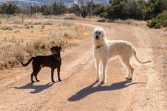 Лаборатория шоколада и ирландский Wolfhound играя outdoors на грязи roa Стоковые Фотографии RF