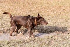 Лаборатория шоколада играя на парке собаки Стоковая Фотография
