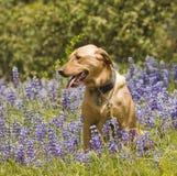 Лабрадор в цветках Стоковое Изображение RF