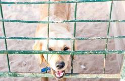 Лабрадор посмотрел через баррикаду Закройте вверх смотреть собаки Лабрадора лежа из загородки барьера, бедно баррикад стоковые фотографии rf