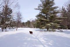 Лабрадор в снежке Стоковые Фото