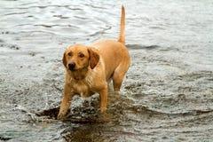 Лабрадор играя в шотландском Loch Стоковые Фотографии RF