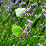 лаванда бабочек Стоковое фото RF