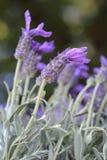 Лаванда бабочки Стоковое Изображение