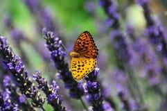лаванда бабочки Стоковая Фотография