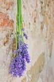 Лаванда вися на каменной стене Стоковые Изображения