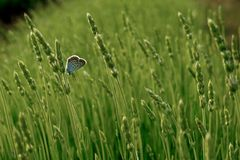Лаванда зацветая в поле Стоковые Фото