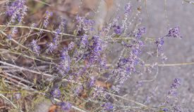 Лаванда Зацветая пурпурные цветки лаванды и сухая трава в лугах или полях Фотография искусства стоковое фото rf