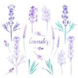 Лаванда Иллюстрация акварели, изолированные флористические элементы для дизайна Собрание цветков лаванды на белой предпосылке иллюстрация штока