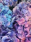 Лаванда и голубой конец цветка гортензии вверх Стоковые Фотографии RF