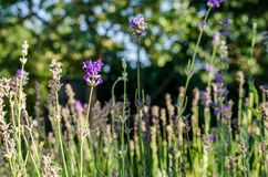 Лаванда на поле Стоковые Фото