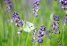 лаванда поля бабочки Стоковое Изображение
